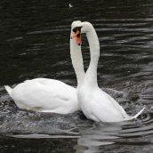 170118-spring-swans-6