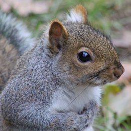 170130-grey-squirrel-1