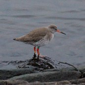 170202-common-redshank