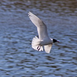170406 Mediterranean gull (4)