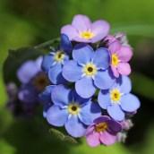 170407 spring flowers (4)