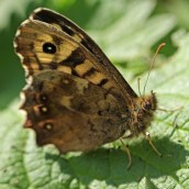 170409 Speckled Wood