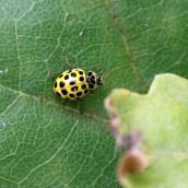 170501 ladybird 22-spot