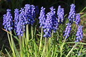 174014 grape hyacinth (3)