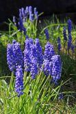 174014 grape hyacinth (4)