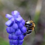 174014 grape hyacinth (5)