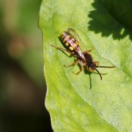 170509 Nomada sp Cuckoo bees (5)