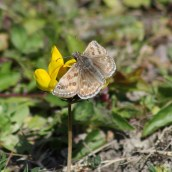 170513 (5) Dingy skipper