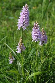 170609 Common spotted-orchid Cosmeston (2)