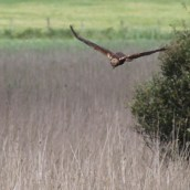 170612 Marsh harrier (2)