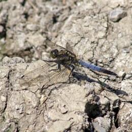 170624 Black-tailed Skimmer (2)