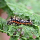 170628 Knot grass larva Acronicta rumicis
