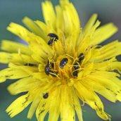 170628 Pollen beetles Meligethes sp