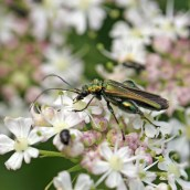 170630 2 Swollen-thighed beetle