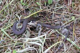 170703 grass snake