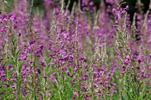 170714 Rosebay willowherb (4)
