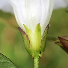 170718 Bracteoles Hedge bindweed