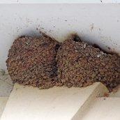 170723 House martin nest (5)