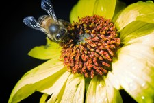 bee on flower 225x150 Earthtalk Q&A