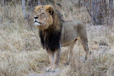 cecil sml 400x267 Trophy Hunting: Good for Wildlife, Conservation?