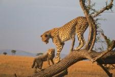 cheetah 225x150 Earthtalk Q&A