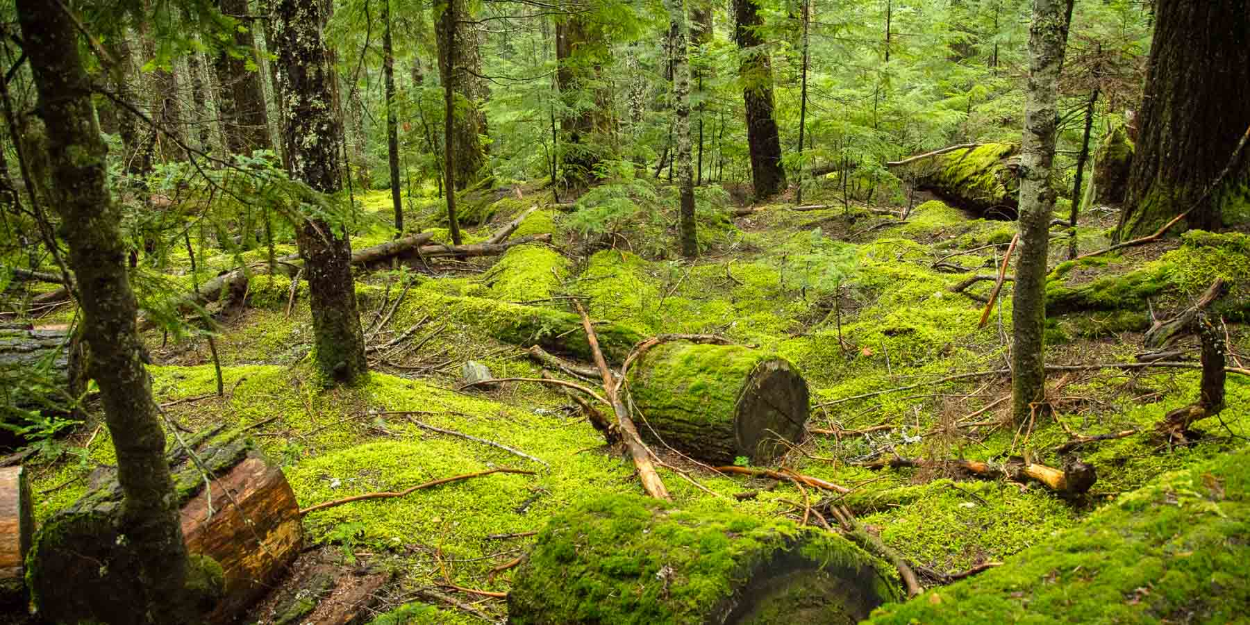 Moss overgrows a forest floor in this setting for forest bathing.