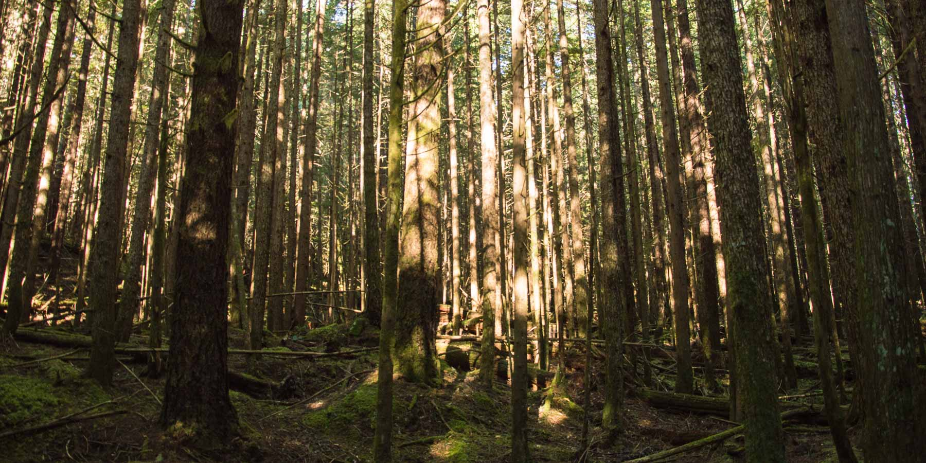 Forest bathing means you notice the light. Here sunlight plays on a forest of pine trees.