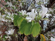 Bauhinia flowers bloom on the warm side of a building on the University of Arizona campus. This experimental planting has suffered from occasional hard frosts but still grows and blooms in select microclimates on campus. (Photograph by Abby Dockter)