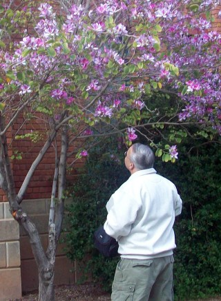 Entomologist John Palting looks at a purple orchid tree in front of the Center for English as a Second Language building. Natives of China, purple orchid trees are non-allergenic. (Photograph by Amber White)