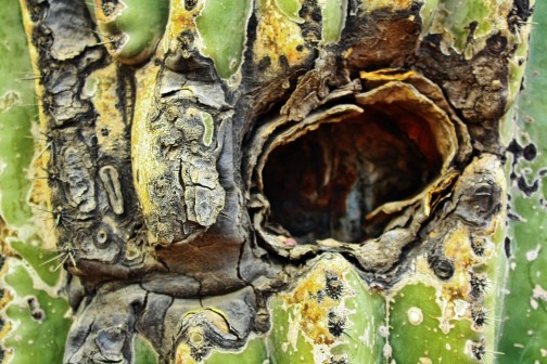 A gaping hole gives birds and other creatures access to the inside of a crested saguaro near Old Main on the University of Arizona campus. The saguaro, which can't be moved without a permit from the Arizona Department of Agriculture, was transported to the campus for $6,000. (Photograph by Rachel Wehr)