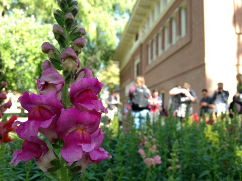 Snapdragons bloom on the University of Arizona campus. Although snapdragons use more water than native desert plants, they attract hummingbirds and add color to the landscape. (Photograph by Michaela Webb)