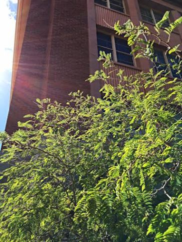 Tenaza (Havardia pallens) grows on the University of Arizona campus. This small evergreen tree is native to south Texas and northeast Mexico. (Photograph by Steven Lovell)