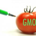 GM tomato