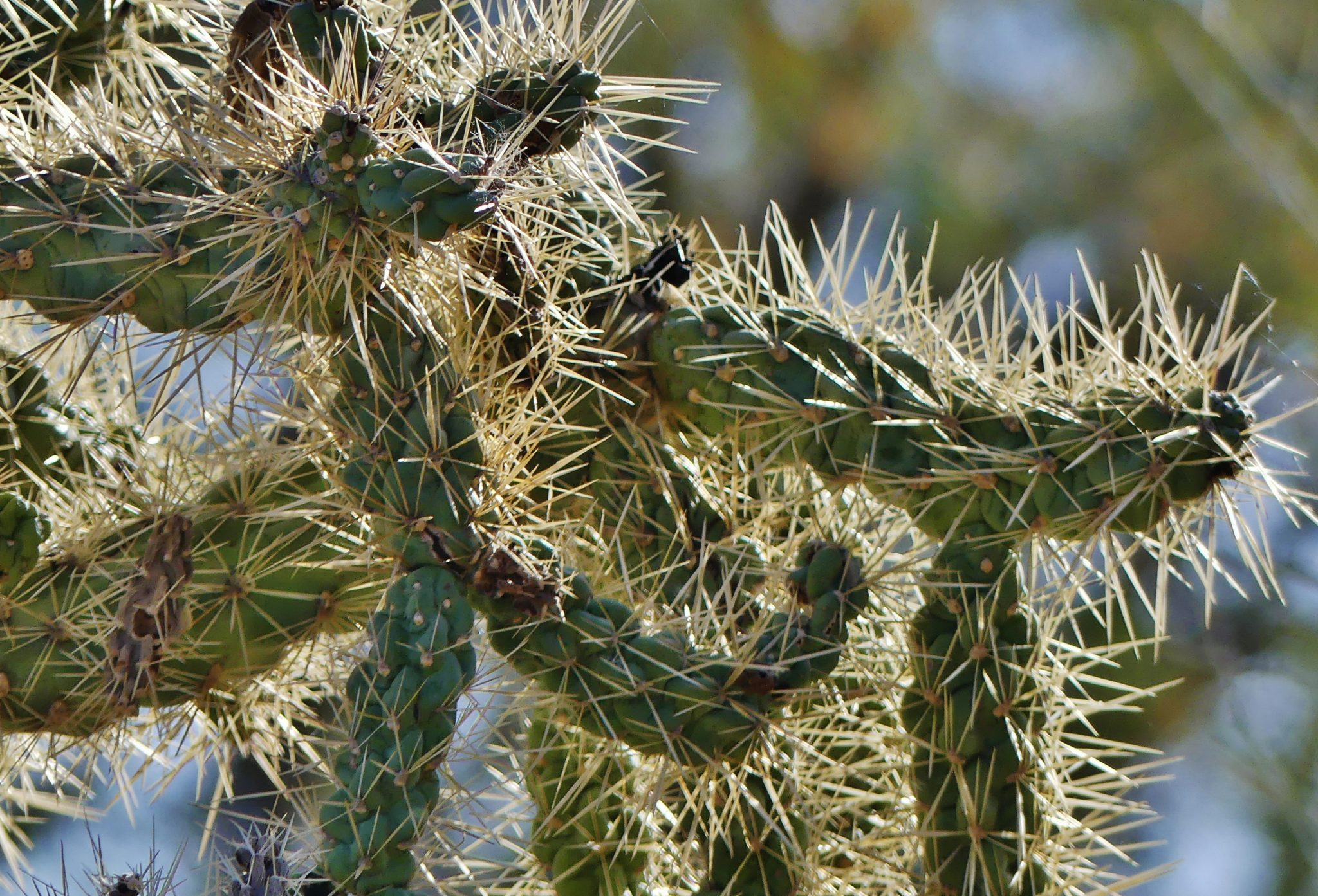 The Tale of the Jumping Teddy Bear Cholla Cactus