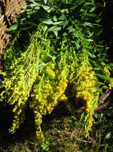 Harvested goldenrod
