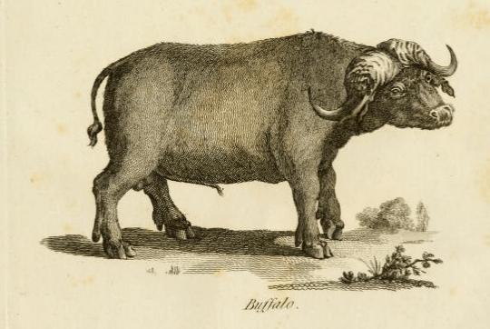salt buffalo.png
