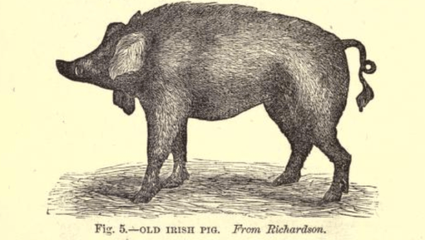 Pig 2.2.png