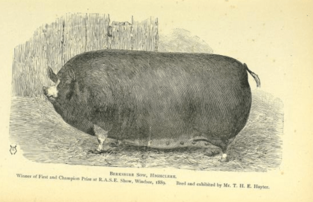 pig 7.png