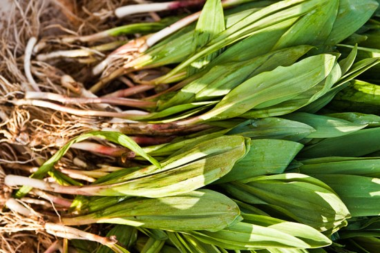 Fresh Ramps, Just Picked