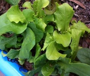 grow salad