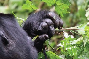 Bwindi Impenetrable Forest National Park - Gorilla Trekking Safari - Uganda Safari