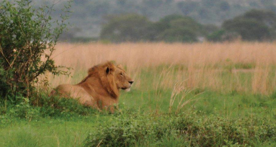 Murchison Falls Lion - Uganda Rwanda Safari Adventure