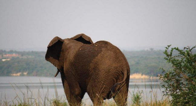 Queen Elizabeth National Park Safari Elephant, Uganda