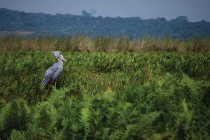 Mabamba Bay Birding Shoebill
