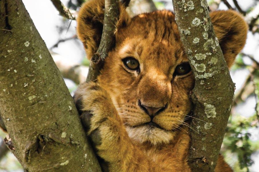 Lake Manyara Tree Climbing Lions
