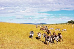 Kenya Vacation Holiday Safari - Masai Mara National Reserve savannah wild