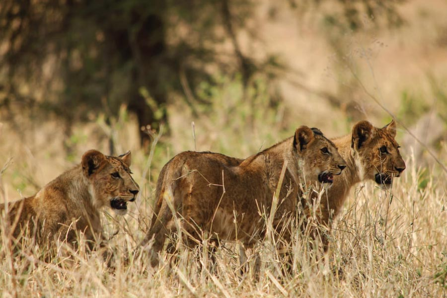 Mkomazi National Park Lions
