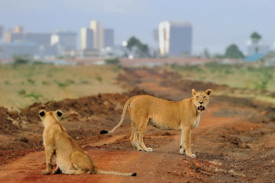 Nairobi National Park Tour Lions