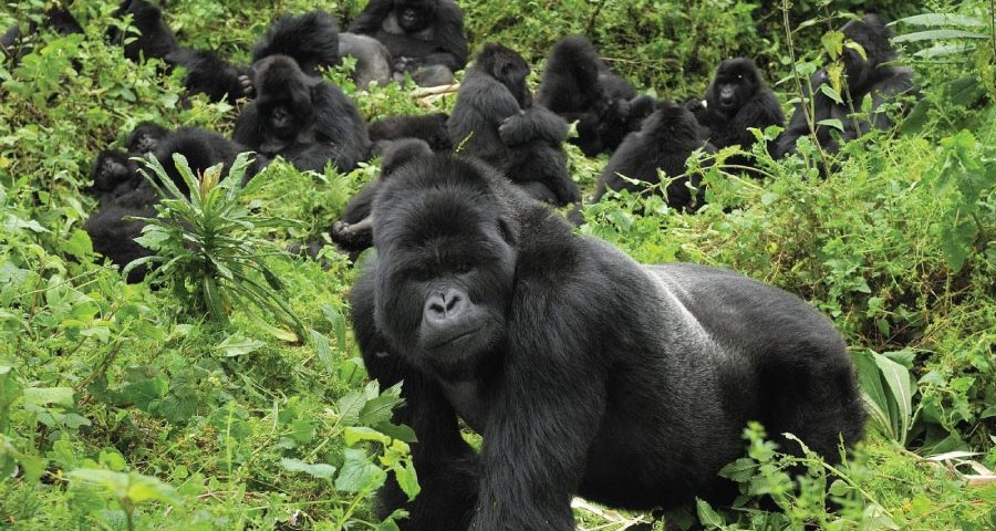 Bwindi Impenetrable Forest National Park Gorilla Family