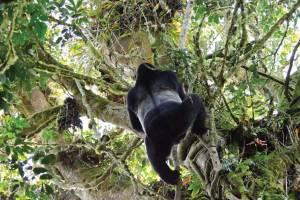 Bwindi Silverback Gorilla